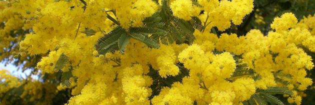 fleur-de-mimousa